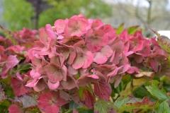 hortensia tuin