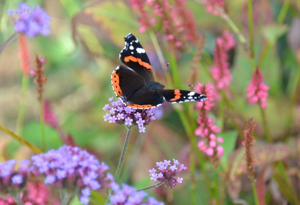 Deze afbeelding heeft een leeg alt-attribuut; de bestandsnaam is tuin-vlinders-1-edited-1024x701.jpg